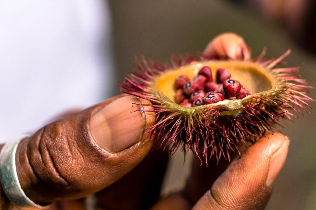 graines de l'achiote pour le maquillage indigène
